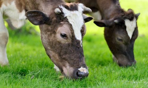 koeien de Lochtenberg